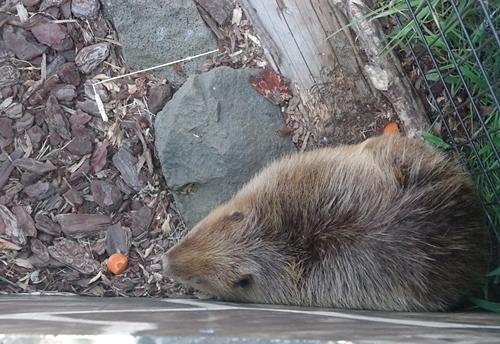 200823 伊豆シャボテン公園-41_0813P (22)アメリカビーバー.JPG