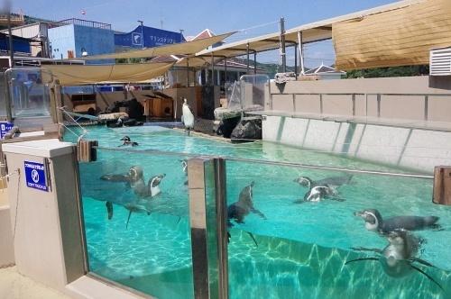 200922 下田海中水族館23_0814p (143)ペンギン舎_フンボルトペンギン_水面_泳ぐ.JPG