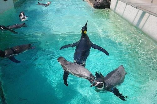 200922 下田海中水族館24_0814p (108)ペンギン達_水面_泳ぐ.JPG