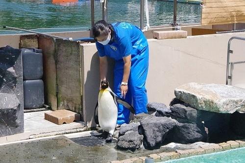 200922 下田海中水族館25_0814p (351)キングペンギン_.JPG