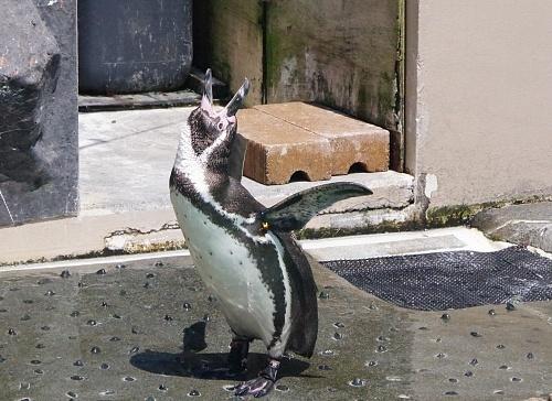 200922 下田海中水族館27_0814p (340)フンボルトペンギン_鳴く.JPG