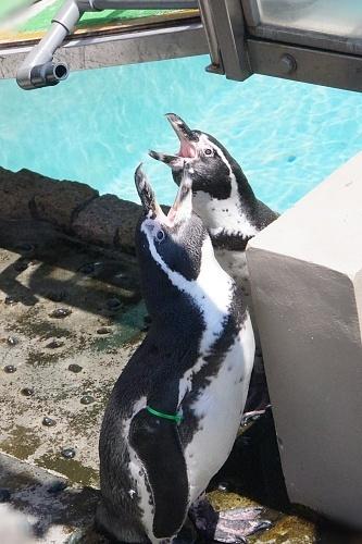 200922 下田海中水族館28_0814p (341)フンボルトペンギン_2羽で鳴く.JPG