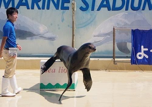 200922 下田海中水族館30_0814p (271)アシカ・イルカショー_カリフォルニアアシカ「リク」.JPG