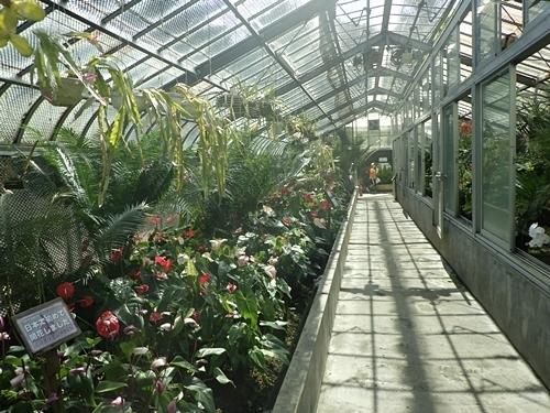 2009熱川バナナワニ園30_0813R (60)温室_アンスリウム.JPG