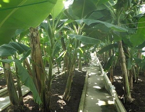 2009熱川バナナワニ園31_0813R (78)バナナ温室.JPG