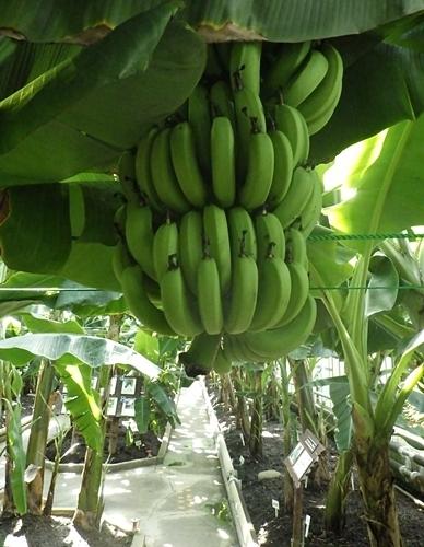 2009熱川バナナワニ園32_0813R (79)バナナの実.JPG