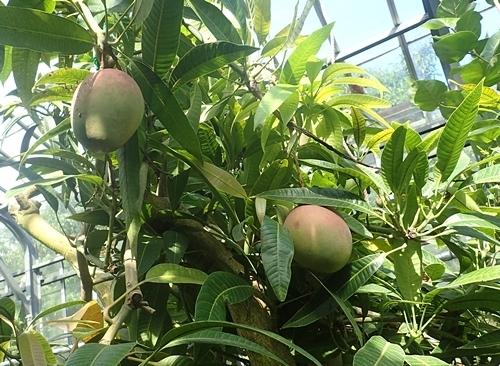 2009熱川バナナワニ園33_0813o (23)マンゴーアイブン.JPG