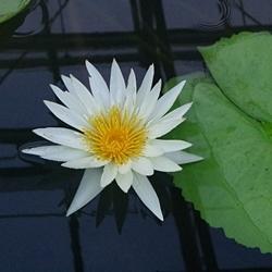 2009熱川バナナワニ園61_0813P (127)ハス・スイレン温室_.JPG