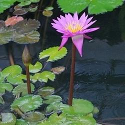 2009熱川バナナワニ園62_0813P (125)ハス・スイレン温室_.JPG
