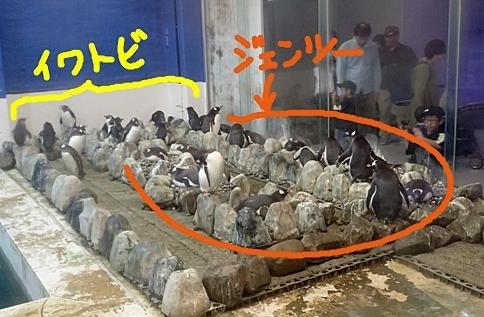 20191025_白浜アドベン10-1020o (159)ジェンツーペンギンの巣・キタイワトビペンギンの巣.JPG
