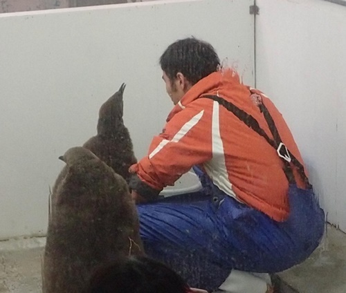 20191025_白浜アドベン1020-4o (55)キングペンギンのひなと飼育スタッフ.JPG