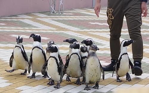 20191025_白浜アドベン25-1020p (172)ケープペンギン_カーニバルへ移動.JPG