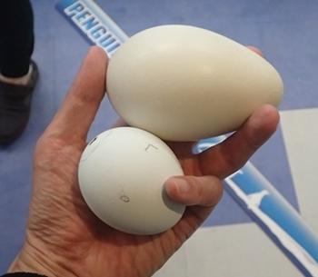 20191025_白浜アドベン33-1020o (186)キングペンギンの卵とアデリーペンギンの卵_ペンギンアカデミー.JPG