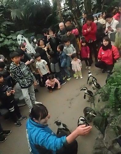 20200114 伊勢シーパラ_25_0104o (23)ペンギン散歩_ケープペンギン.JPG