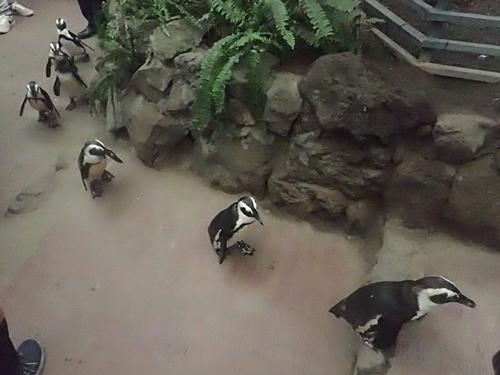 20200114 伊勢シーパラ_26_0104o (25)ペンギン散歩_ケープペンギン.JPG