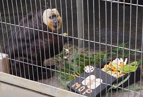 202001 犬山モンキーセンター_31_0103p (117)サルおせち_シロガオサキ_モップ君.JPG