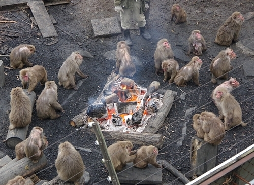 202001 犬山モンキーセンター_74_0103p (55)ヤクニホンザル(ヤクザル)_サル_たき火.JPG