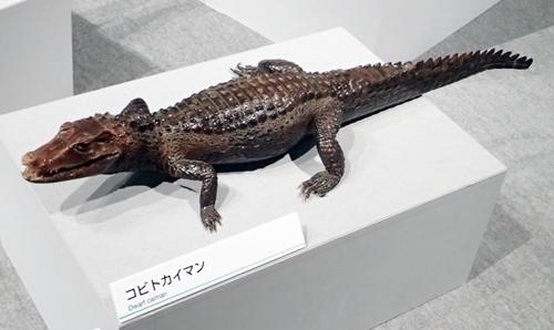 202103_科博_大地のハンター展_24_o (102)コビトカイマン_.JPG