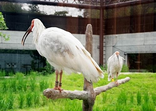 いしかわ動物園1708_トキめっちゃ近い.JPG