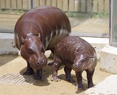 いしかわ動物園_コビトカバ_母子.JPG