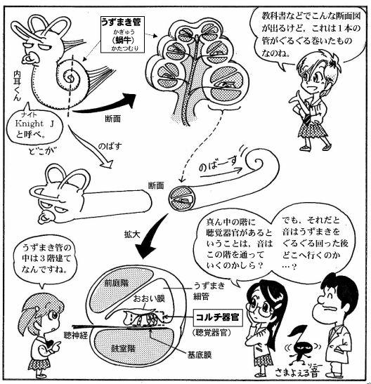 耳の構造(7)-2
