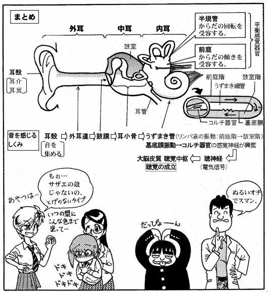 耳の構造(12)-2