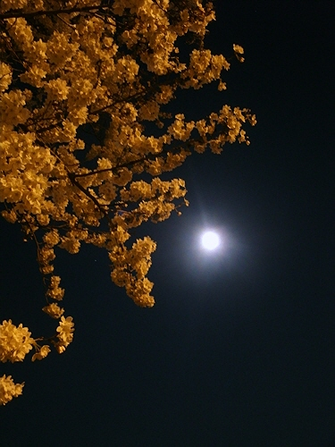120406 夜桜.jpg