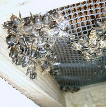 120429 ミツバチ巣下.jpg
