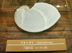 130905 葛西臨海アオイガイ.JPG