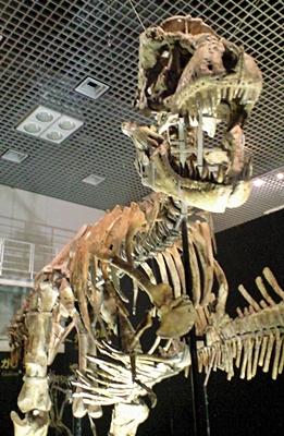 140209 タルボサウルス.JPG