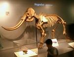 140811 古哺乳類12アケボノゾウ.JPG