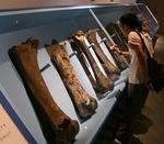 140811 古哺乳類13ナウマン大腿.JPG