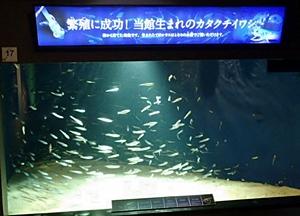 141114_09_カタクチイワシ繁殖.JPG