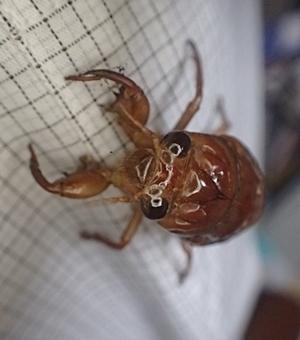 150807 アブラゼミ幼虫.JPG