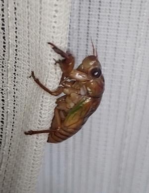 150807 アブラゼミ幼虫2.JPG
