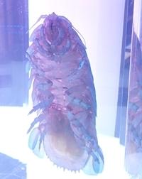 151102 沼水 透明ダイオウグソクムシ.JPG