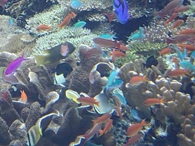 160111美ら海水族館 サンゴの海.JPG