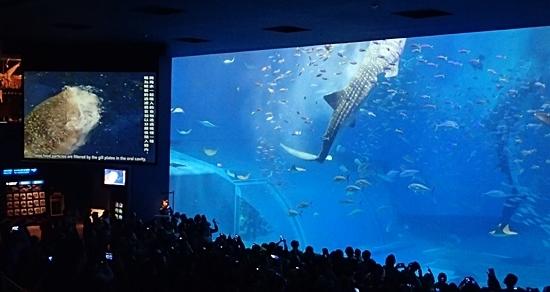 160111美ら海水族館 ジンベエ給餌.JPG