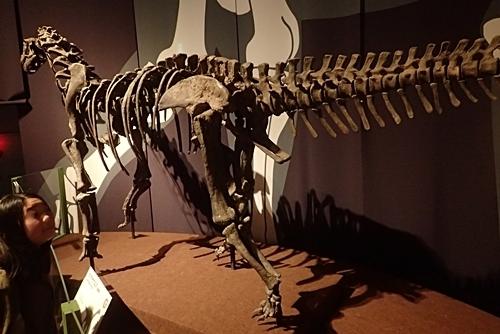 160404 科博_恐竜博 カマラサウルス.JPG