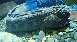 160710 おたる水族館 06 オオカミウオ.JPG
