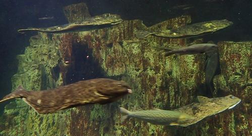160710 おたる水族館 08 360°水槽カレイ類.JPG