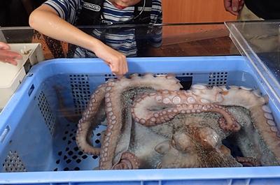 160710 おたる水族館 10 タッチプールミズダコ.JPG