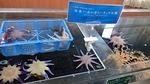 160710 おたる水族館 10 タッチプール冷水.JPG