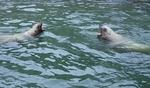 160710 おたる水族館 12 海獣公園トド.JPG