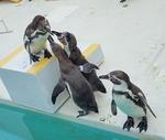 160710 おたる水族館 12 海獣公園フンボルトペンギン.JPG