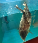 160710 おたる水族館 12 海獣公園ワモンアザラシ.JPG