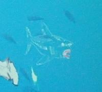160715 海のハンター展 (20)泳げ!マイハンター.JPG