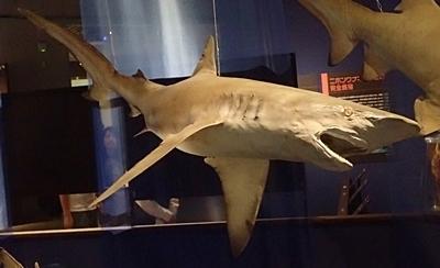 160715 海のハンター展 (7)クロヘリメジロザメ?.JPG
