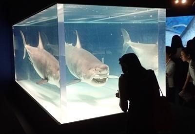 160715 海のハンター展 (8)ホホジロザメ.JPG