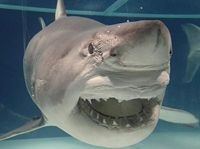 160715 海のハンター展 (9)ホホジロザメ.JPG